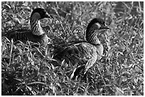 Endangered Nene in grases, Hanalei Valley. Kauai island, Hawaii, USA (black and white)