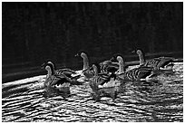 Nenes swimming, Hanalei National Wildlife Refuge. Kauai island, Hawaii, USA (black and white)