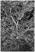 Hawaiian tree. Kauai island, Hawaii, USA (black and white)