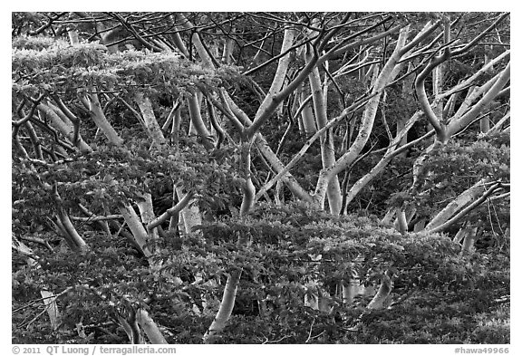 Branches of White Siris (Albizia falcataria). Kauai island, Hawaii, USA (black and white)