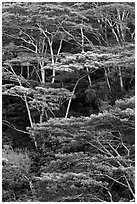 Grove of White Siris trees. Kauai island, Hawaii, USA (black and white)