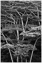 White Siris trees growing on hill. Kauai island, Hawaii, USA (black and white)