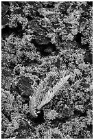 Fern, moss, and hardened lava. Big Island, Hawaii, USA (black and white)