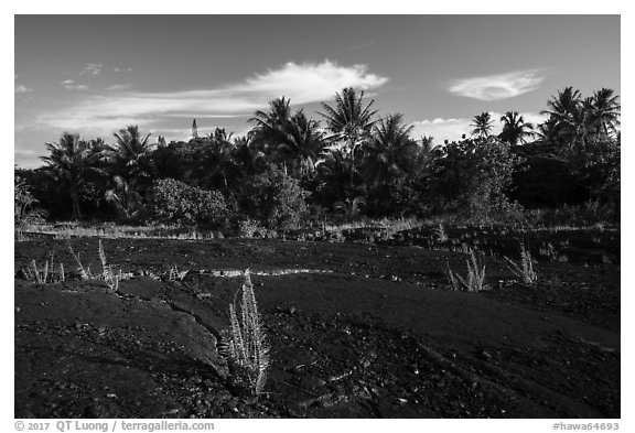 Young ferns sprouting out of lava field, Kalapana. Big Island, Hawaii, USA (black and white)