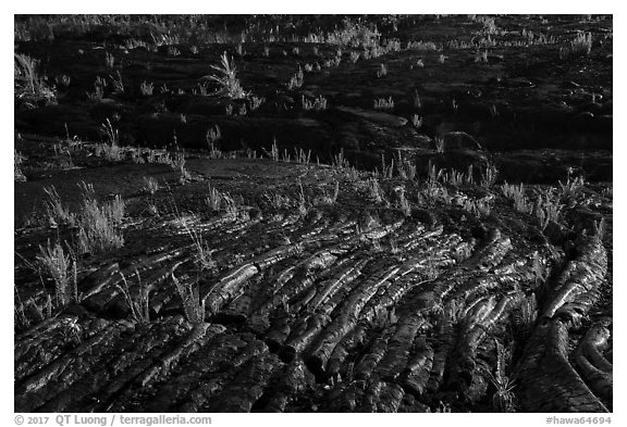 Rippled lava and young ferns, Kalapana. Big Island, Hawaii, USA (black and white)