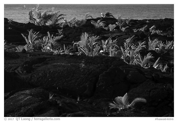 Palm tree sapplings, Kaimu Beach. Big Island, Hawaii, USA (black and white)