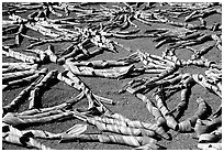 Pandanus leaves being dried. American Samoa ( black and white)