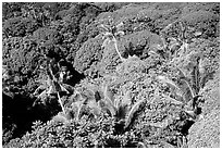 Tropical vegetation. Aunuu Island, American Samoa ( black and white)
