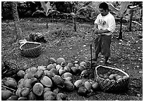 Villager collecting coconuts into a basket made out of a single palm leaf. Tutuila, American Samoa ( black and white)