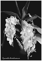 Cycnoches herenhusanum. A species orchid (black and white)