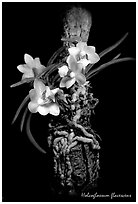 Holcoglossum flavescens. A species orchid (black and white)