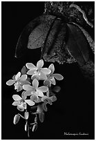 Phalaenopsis lindenii. A species orchid (black and white)