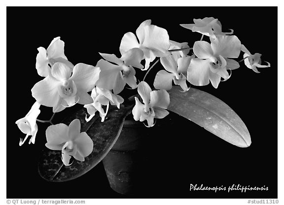 Black and White Picture/Photo: Phalaenopsis philippinensis ...