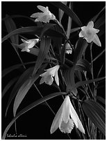 Sobralia allenii. A species orchid (black and white)