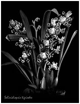 Solinidiopsis tigriodes. A species orchid (black and white)