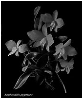 Sophronitis pygmaea. A species orchid (black and white)