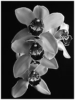 Cymbidium Atlantic Crossing 'Featherhill'. A hybrid orchid (black and white)