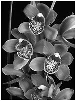 Cymbidium Enzan Forest 'Majolica'. A hybrid orchid (black and white)