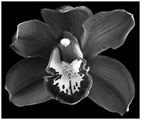 Cymbidium Lady Fire 'Red Angelica'. A hybrid orchid (black and white)