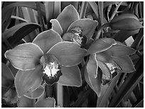 Cymbidium Mighty Sunset 'Annabelle'. A hybrid orchid (black and white)