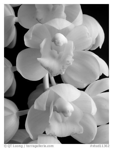 Black And White Picture Photo Cymbidium Mini Sarah Pearl Fall Flowers A Hybrid Orchid