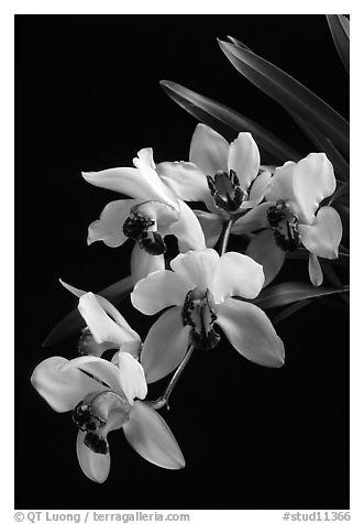 Black and White Picture/Photo: Cymbidium Rincon Lady 'Zita ...