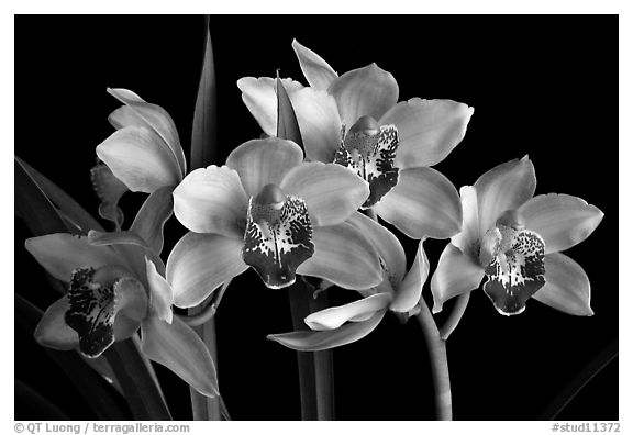Black and White Picture/Photo: Cymbidium Summer Love ...