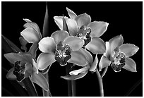 Cymbidium Summer Love 'Dwaft Pink'. A hybrid orchid (black and white)