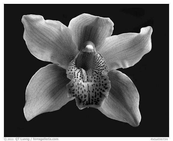 Black and White Picture/Photo: Cymbidium Astronaut 'Rajah ...
