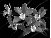 Cymbidium Baltic Sweetheart 'Sarah'. A hybrid orchid (black and white)