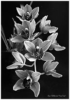 Cymbidium Bulbarrow 'Friar Tuck'. A hybrid orchid (black and white)