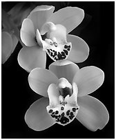 Cymbidium Dame Catherine 'Spring Day' Flower. A hybrid orchid (black and white)