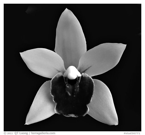 Black and White Picture/Photo: Cymbidium Devon Gala 'New ...