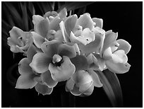 Cymbidium Cymbidium Eatern Wind. A hybrid orchid (black and white)