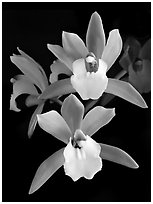 Cymbidium Hold That Tiger. A hybrid orchid (black and white)