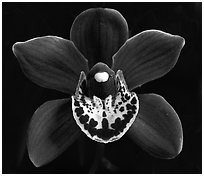 Cymbidium Khaipour 'Pala Pala' Flower. A hybrid orchid (black and white)