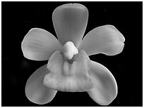 Sarah Jean 'Ice Cascades' Flower. A hybrid orchid (black and white)