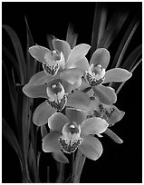 Cymbidium Scott's Sunrise. A hybrid orchid (black and white)