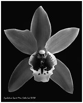 Cymbidium Squirt 'Mem. Esther Loo' Flower. A hybrid orchid (black and white)