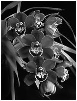 Cymbidium Street Hawk 'Mem. Tom Hank'. A hybrid orchid (black and white)