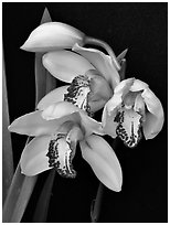 Cymbidium Summer Love 'Petra'. A hybrid orchid (black and white)