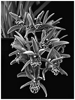 Cymbidium Tea Time 'Somersby Falls'. A hybrid orchid (black and white)