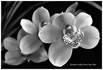 Cymbidium Valley Picture 'Ayers Rock'. A hybrid orchid (black and white)