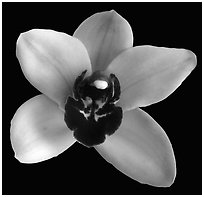 Cymbidium Yai 'Monica' Flower. A hybrid orchid (black and white)