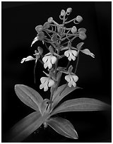 Habenaria rhodochiela. A species orchid (black and white)