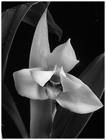 Maxillaria grandiflora. A species orchid (black and white)