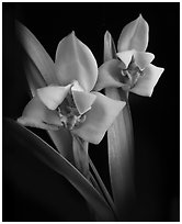 Maxillaria lehmannii. A species orchid (black and white)