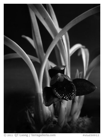 Maxillaria schunkeana. A species orchid (black and white)
