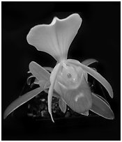 Paphiopedilum helenae. A species orchid (black and white)