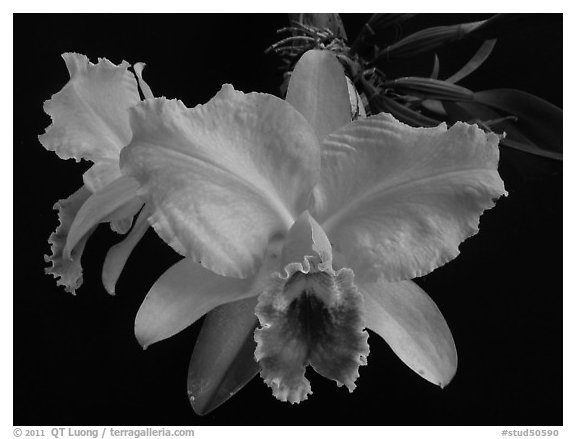 Black and White Picture/Photo: Cattleya percilviana 'Sumit ...